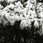 Snow on the Oleanders